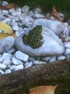 Grasfrosch am Teichrand unseres Gartenteichs